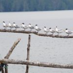 Burung Migrasi di Taman Nasional Sembilang