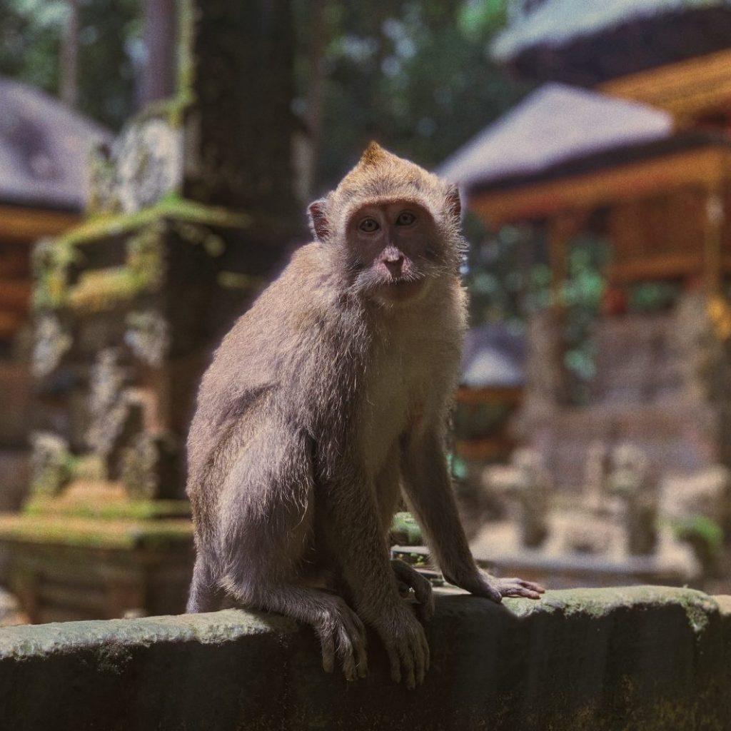 seven wonders of Bali di antaranya Sangeh atau monkey forest
