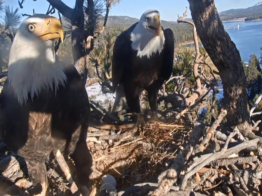 friends of big bear valley live eagle cam