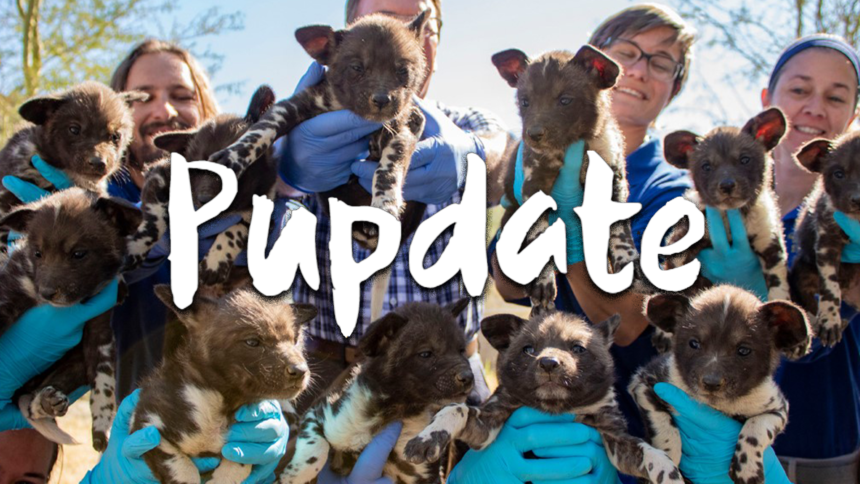 """Living Desert painted dog puppies undergo well-baby exams, are now """"chunky"""" - KESQ"""