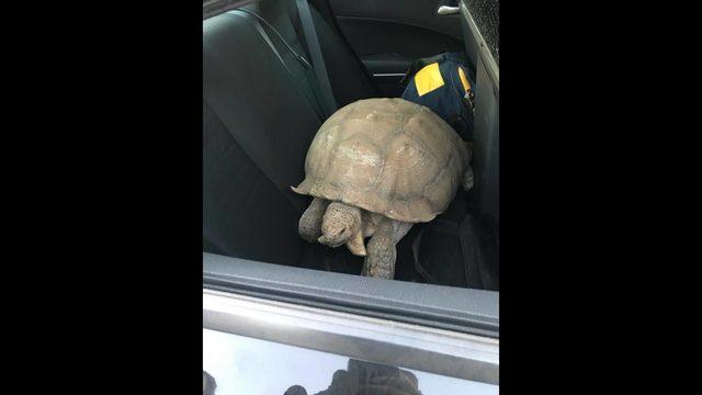 chp tortoise 3_1563234647374.jpg_38992428_ver1.0_640_360