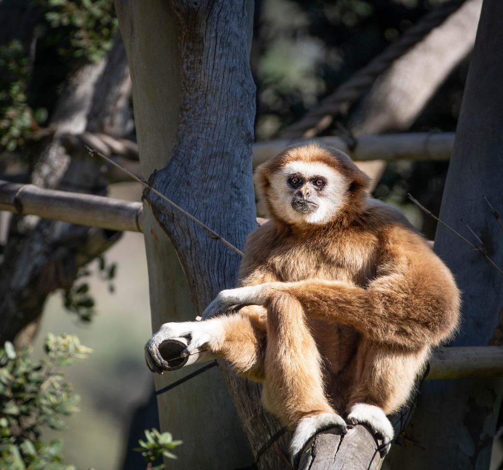 SB Zoo gibbon