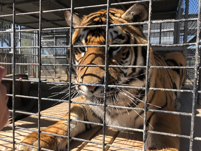 Moorpark College rehabilitates tiger back to health