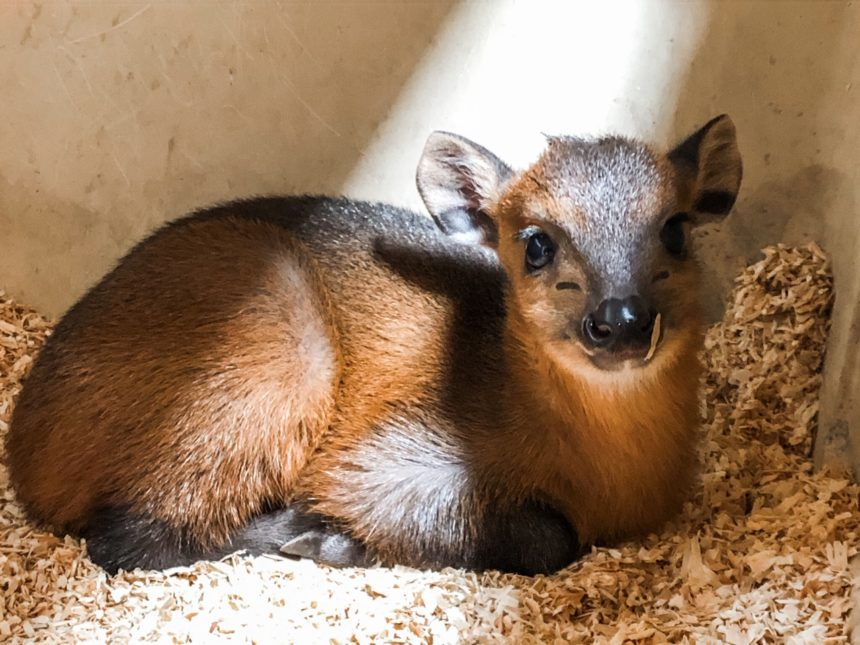 Baby Red Flanked Duiker 1.22.20