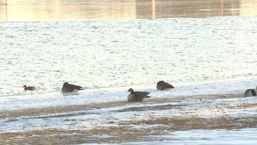 prospect lake snow geese