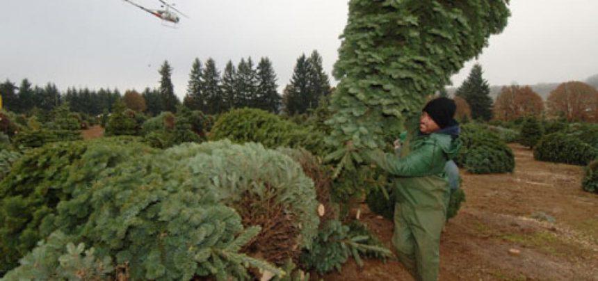 Christmas tree harvest in Corvallis OSU