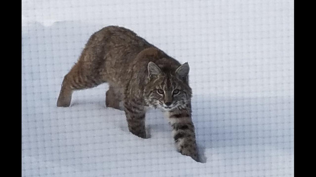 Plainview-area bobcat
