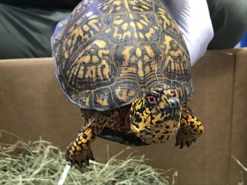 Seized Eastern box turtle