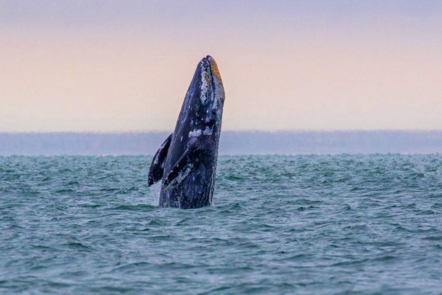 Gray whale breach