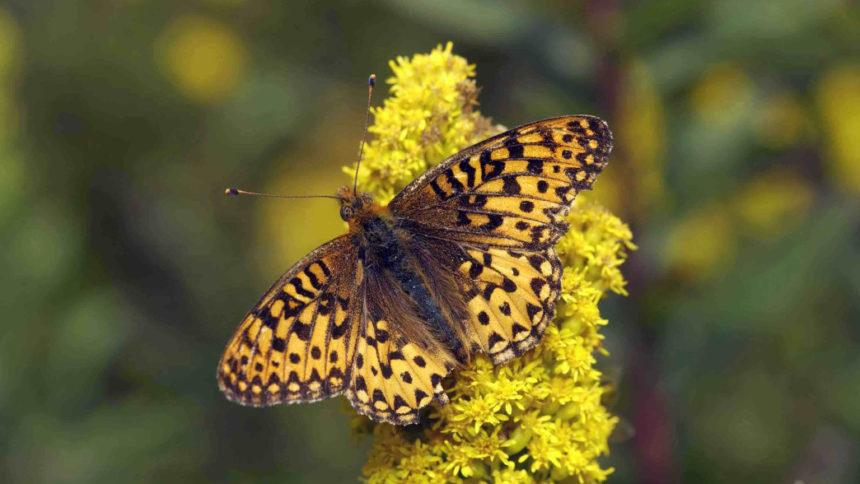 Silverspot butterfly Michael Durham