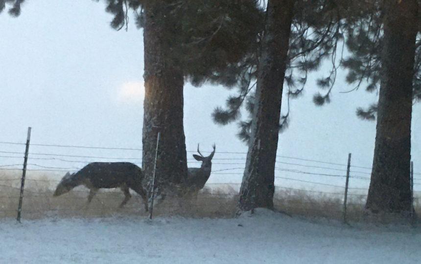 Tollgate snow deer Jane Killefer 1126