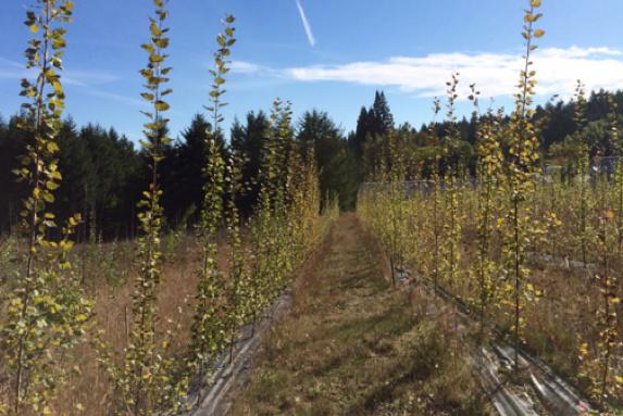 Poplar plantation PSU
