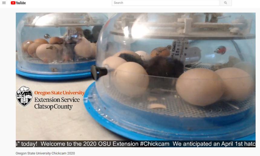OSU Extension Chickcam