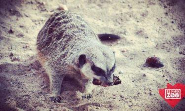 meerkat-el-paso-zoo