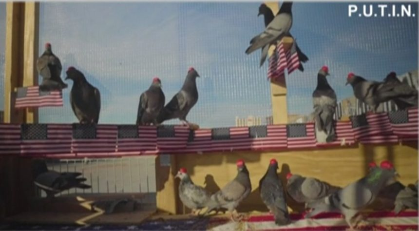 MAGA pigeons