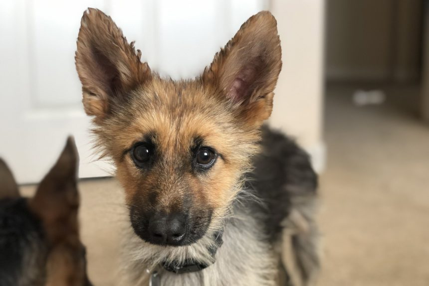 This German Shepherd who will look like a puppy forever