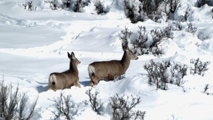 doe and fawn mule deer deep in snow_IDFG